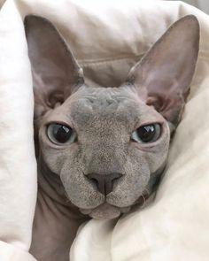 Chats Devon Rex, Devon Rex Cats, Beautiful Cats, Animals Beautiful, Spinx Cat, Cute Hairless Cat, Chat Sphynx, Amor Animal, Tier Fotos