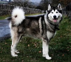 alaskan malamute dog photo | Alaskan Malamute | Flickr - Photo Sharing!