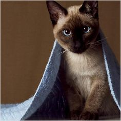 Siamese cats pictures) - Siamese Kittens - Ideas of Siamese Kittens - Very interesting post: Siamese cats pictures).сom lot of interesting things on Funny Cat. The post Siamese cats pictures) appeared first on Cat Gig. Siamese Kittens, Kittens Cutest, Cats And Kittens, Cute Cats, Funny Cats, I Love Cats, Kitty Cats, Tabby Cats, Bengal Cats