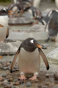 Gentoo penguin pebble by Edinburgh Zoo Official, via Flickr