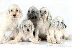 English Setter Puppies Royalty Free Stock Photo - Image: 17429695