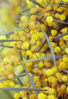 Gorgeous golden wattle - This can also be found in Arizona, but it never gets as vibrant here as it does in Australia.