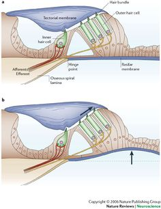The sensory and motor roles of auditory hair cells Neuron Structure, Human Body Structure, Biology Teacher, Science Biology, Ear Anatomy, Medical Textbooks, Vestibular System, Medicine Student, Ob Nursing