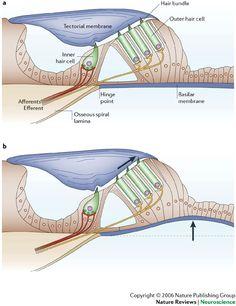 outer hair cells ear | Otology 2 | DNBhelp