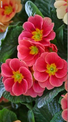 """Primroses ~ say to the recipient  """" I can't live without you""""  and a common English name for baby girls."""