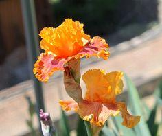TB Iris germanica 'Bottle Rocket'