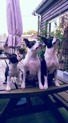Boston Terrier Sisters named Kiki, Naya and Naka