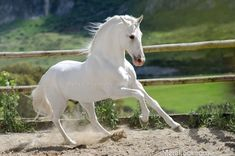 Most Beautiful Horses, All The Pretty Horses, Animals Beautiful, Cute Horses, Horse Love, Horse Photos, Horse Pictures, Arte Equina, Andalusian Horse
