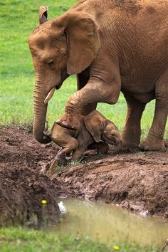 Wild life: A mother's determination: Elephant rescues baby tr...