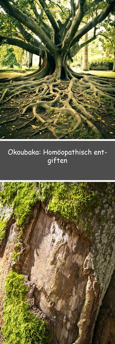 Besides Belladonna and Nux vomica, Okoubaka is a classic homeopathic medicine chest. Homeopathic Medicine, Beauty Makeup Tips, Ayurveda, Places To Visit, Health Fitness, Nature, Diys, Spirit, Salud