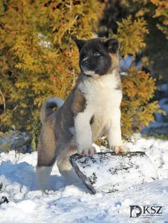 Purebred American Akita puppies & dogs for sale. Akita Puppies For Sale, Small Puppies, Cute Dogs And Puppies, Bulldog Puppies, Japanese Akita, Japanese Dogs, Bluetick Coonhound, American Akita, Norwich Terrier