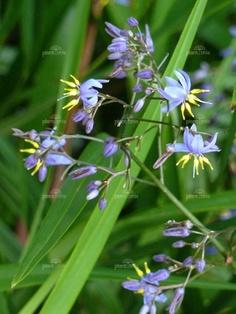 "Plants: Dianella longifolia ""Pale flax lily"""