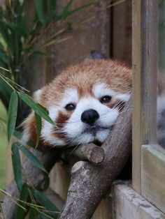 Red Pandas are so cute. Red Pandas are so cute. Cute Wild Animals, Cute Little Animals, Cute Funny Animals, Animals Beautiful, Red Panda Cute, Panda Love, Dou Dou, My Spirit Animal, Cute Animal Pictures