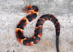 Baby Copperhead? Baby Water Snake? What kind is it???   Photos ...