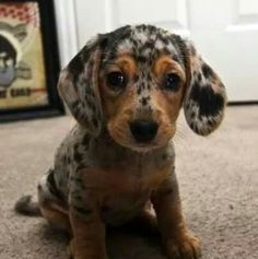 Cutie!!! Catahoula maybe?