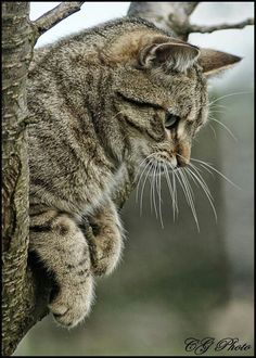 """""""The cat is domestic only so far it suits his own ends."""" --Saki (H H Munro)"""