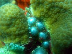 Sea pearls, the world's largest single cell organism