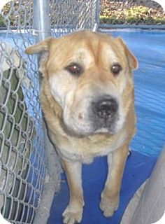New Kent, VA - Shar Pei Mix. Meet Clay *Foster Home Needed* a Dog for Adoption.