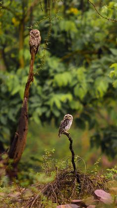 Spotted Owlets - A pair of Spotted Owlets basking in open to catch flies in the morning