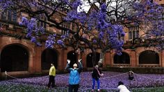 Blooming lovely: Chinese tourists enjoy the brilliant flowers of the old jacaranda in the Sydney University Quadrangle. It has been cloned so it will survive when the original tree, planted in dies. Information Art, University Of Sydney, Spring Images, Spring Blooms, Brisbane, Past, Dolores Park, Old Things, Survival