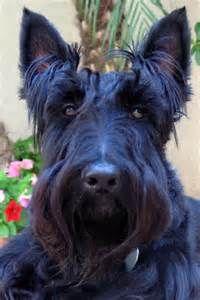scottie dog - Bing Images