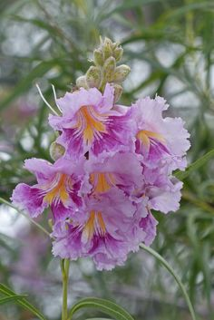 The Desert willow trees (Chilopsis linearis) are in full bloom throughout the Garden.  These spectacular orchid-like blooms exude a heavy musky fragrance and usually bloom in groups of two or three. This lovely bouquet is blooming on a tree by the bridge on the Desert Discovery Loop Trail near the Center for Desert Living Trail.