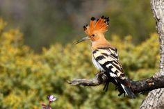 Foto de abubilla en su actitud de alerta. upupa epops. Ave nidificante en la Península Iberica. Autor Carles Pastor