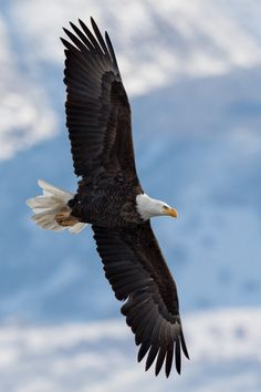 """luxuriousimpressions: """" Bald Eagle By Mark Summers  Taken in Northern Utah """""""