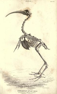 Skeleton of the Ibis, Essay on the Theory of the Earth. Georges Cuvier, 1827