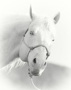 Blue, Cremello Quarter horse done in B/W with blue eyes showing thru