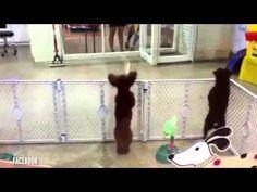 My human dog...dances to Bang Bang!