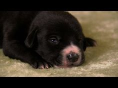 [Watch This] Lab Mix Puppies Lab Mix Puppies, Cute Puppies, English Bulldog Funny, Baby Animals, Cute Animals, Labrador Retriever Mix, Labrador Dogs, Baby Animal Videos, Cute Puppy Pictures