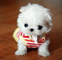 Funny Animal Pictures - View our collection of cute and funny pet videos and pics. New funny animal pictures and videos submitted daily. Best Puppies, Teacup Puppies, Small Puppies, Cute Puppies, Teacup Maltese, Teacup Pomeranian, Pomeranian Puppy, Small Dogs, Funny Animals