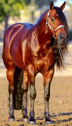 Beautiful blood bay quarter horse with a gorgeous shiny coat and long mane.