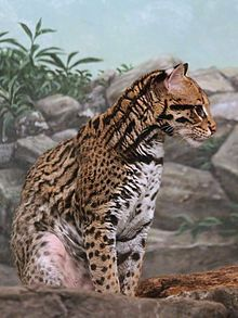 The ocelot (pronounced /ˈɒsəlɒt/; Leopardus pardalis), also known as the dwarf leopard, is a wild cat distributed extensively over South America, Central America, and Mexico.  he ocelot is similar in appearance to a domestic cat. Its fur resembles that of a clouded leopard or jaguar and was once regarded as particularly valuable. As a result, hundreds of thousands of ocelots were once killed for their fur.  This one is in Cincinnati Zoo.