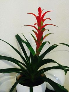 Guzmania (guzmania hybrid): Your plant is a Guzmania, a member of the Bromeliad family and related to the pineapple. Prized for its colorful bracts in pinks, purples, reds, or oranges, Indoors it needs bright, indirect light, regular water at the base of the plant. Do not allow to sit in water and allow soil to dry slightly before watering again. Does not tolerate frost conditions outdoors.It may be a problem if the container has no drainage holes and could lead to root rot. If it does have…