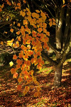 Leaf fall in gold | Flickr - Photo Sharing!
