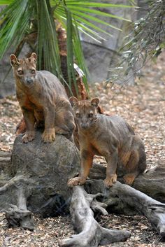 found only in the tropical rainforests of the Madagascar.measuring 27 to 31 in. Interesting Animals, Unusual Animals, Animals Beautiful, Very Rare Animals, Madagascar, Animals And Pets, Funny Animals, Photo Animaliere, Tier Fotos