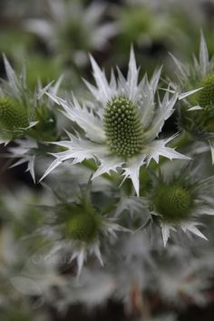 Eryngium giganteum 'Silver Ghost' (sea holly): architectural perennial, good for the middle of a border.