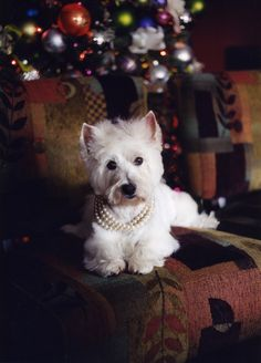 Absolutely, my dreamed-for Westie would be prissy with pearls too