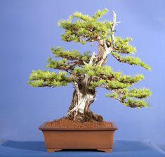 Japanese Larch  http://bonsaieejit.com/blog/