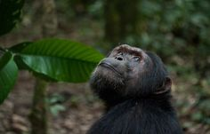 Scientists at work: studying the clay-eating chimps of Budongo