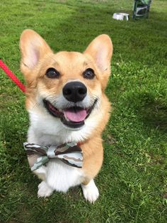 Perry's Bowtique is a unique online shop created simply to provide the best handmade accessories for all stylish pets out there. Bow Ties, Handmade Accessories, Dog Cat, Corgi, Bows, Animals, Arches, Corgis, Animales