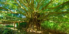 According to many Hindu mythologies and legends, the self-renewing banyan tree is considered as a symbol of immortality. #IndianCulture