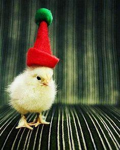 poussin, Noël