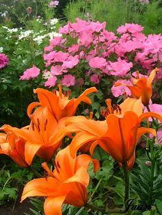 rosas y Amerocalis
