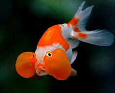 Bubble Eye goldfish have an evenly curved back that lacks the dorsal fin Bubble Eye Goldfish, Goldfish Types, Bubble Fish, Goldfish Pond, Lionhead Goldfish, Fantail Goldfish, Colorful Fish, Tropical Fish, Japanese Goldfish