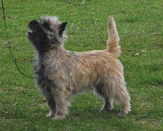 ... BLACK DIAMOND is placed 4th in top Cairn Terriers, in Canada in 2008