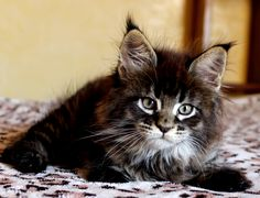 Victor Scameron brown maine coon kitten http://www.mainecoonguide.com/maine-coon-personality-traits/