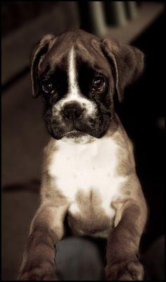 Boxer puppy by Relderson on DeviantArt